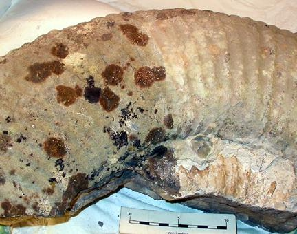 The cleaning, conservation and repair of a very large Titanites ammonite